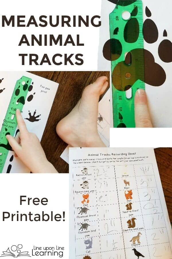 Free printable included! Measuring Animal Tracks is great practice for measuring with a nice connection to science learning.