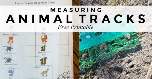 Measuring and then finding animal tracks is a fun Kindergarten level math and science lesson.